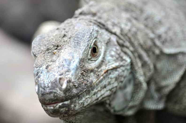 grey komodo dragon
