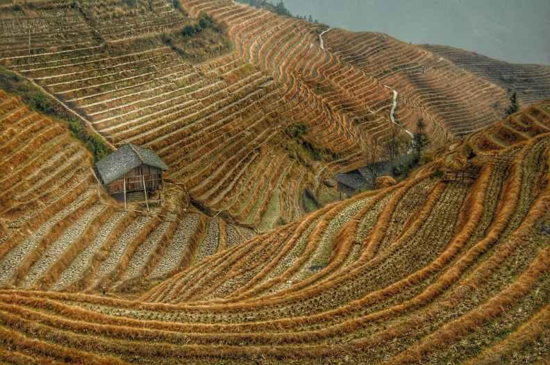 harvest china rice rice fields